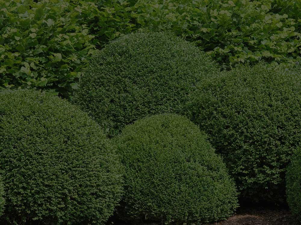 Boerne Shrubs and Hedges